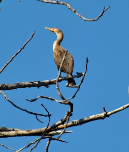 Cormorant In Tree
