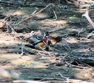 Wood Duck Pair 1