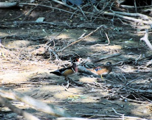 Wood Duck Pair 2