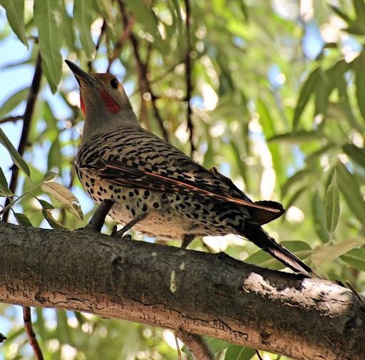 backyard birding flight of the peregrine