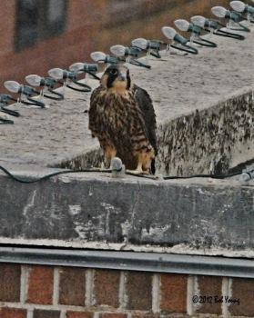 Boise Falcons Fledge!
