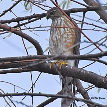 11Dec2012_1_Backyard-Hawk_Sharp-Shinned
