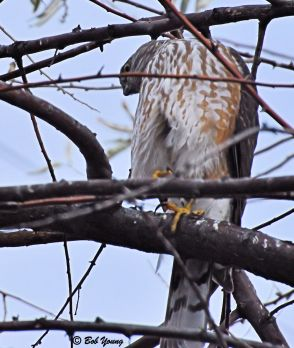 11Dec2012_1b_Backyard-Hawk_Merlin