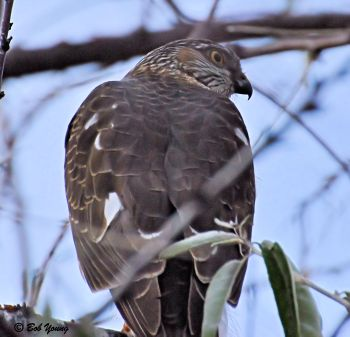 11Dec2012_1c_Backyard-Hawk_Merlin-Back-View