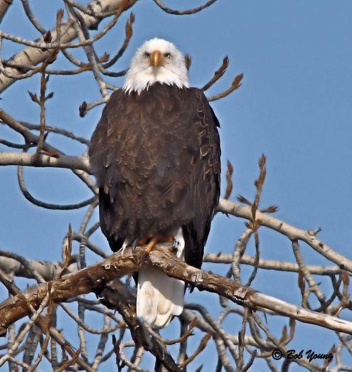 Bald Eagle. How impressive!