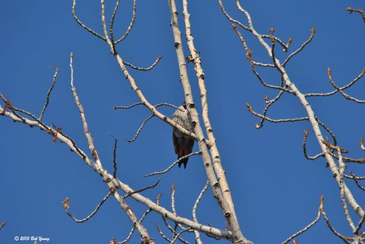 Hiding Northern Flicker high above me.