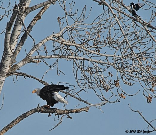 Bald Eagle eats and the Magpies arrive.