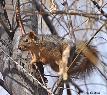 18Feb2013_1_GBBC_Squirrel