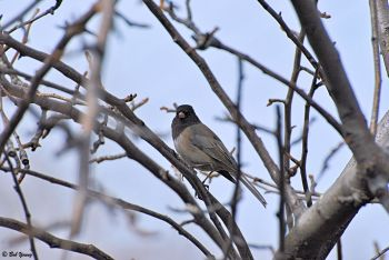 Black-Eyed Junco (Oregon Race)