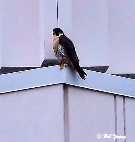 Probably a male, tiercel, Peregrine Falcon. Good markings.