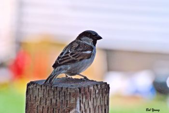 10Apr2013_1_Backyard-Birds_English-Sparrow-On-Post