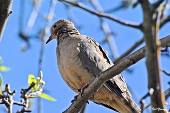 10Apr2013_1a_Backyard-Birds_Mourning-Dove
