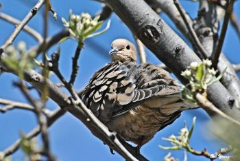 Mourning Dove. These guys have been around all winter.