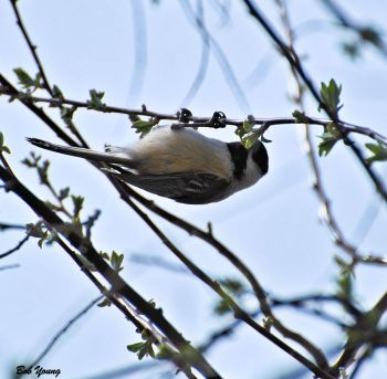 10Apr2013_1f_Backyard-Birds_Black-Capped-Chickodee_Better
