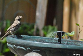 05May2013_1a_Backyard-Birds_Adult-Birdbath