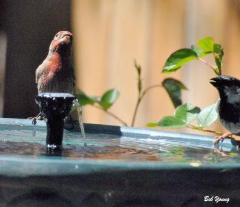 Finchs at the bird bath. They do like the solar fountain.