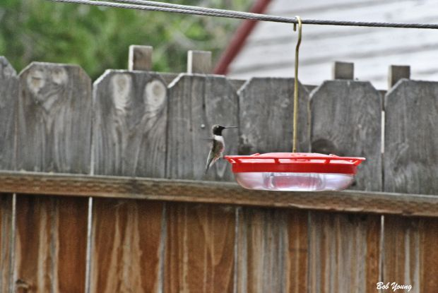 06May2013_1a_Backyard_Black-chinned_Hummer-Stretch