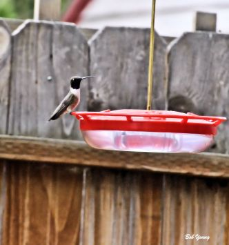 06May2013_1c_Backyard_Black-chinned_Hummer_Good