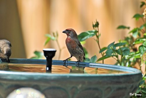 "House Finch at our ""Fountain Bird Bath"". It is solar powered."