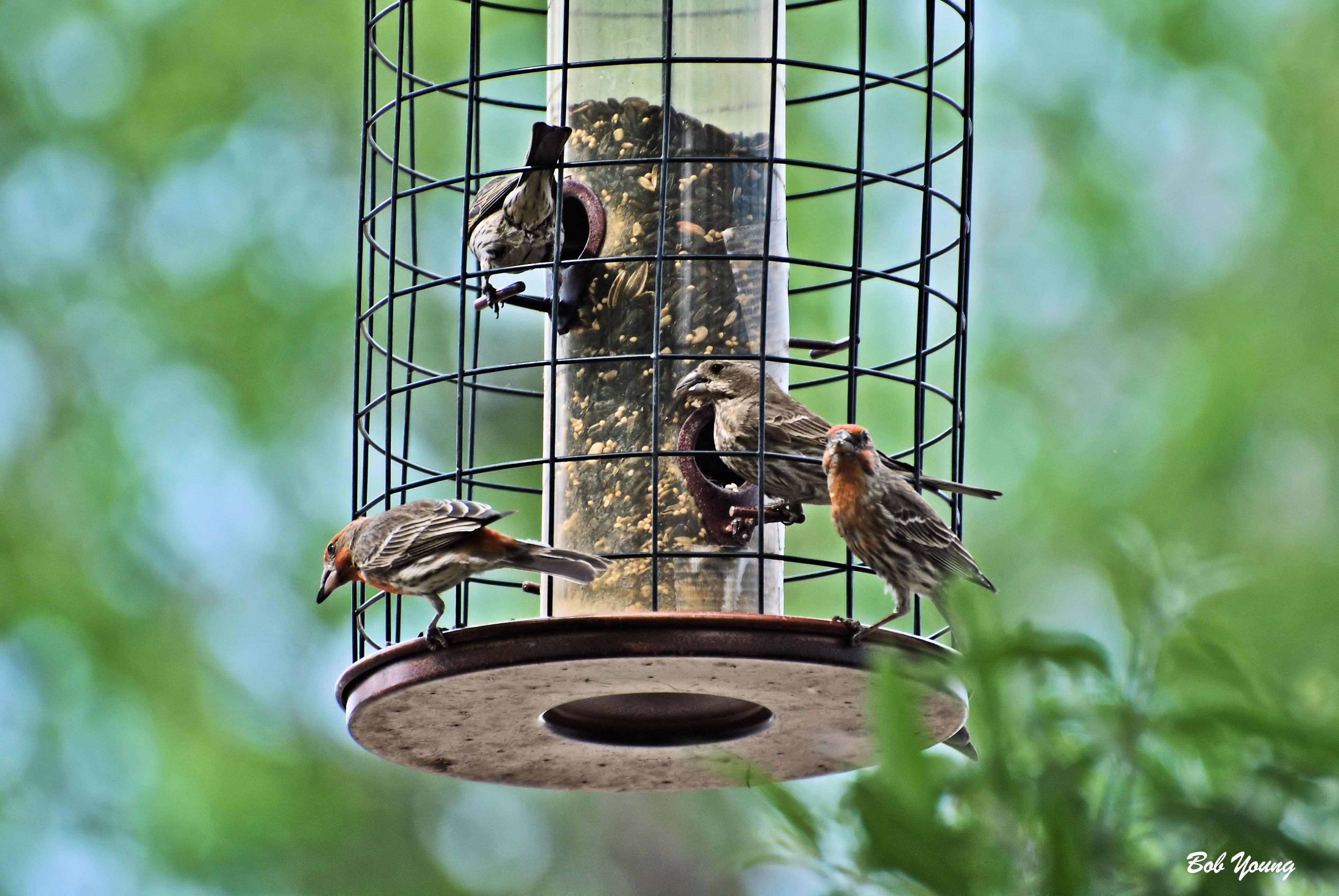 backyard feeders doing fine flight of the peregrine