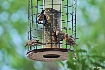 House Finches at one of our feeders.