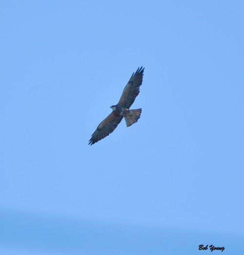 Swainson's Hawk high overhead .