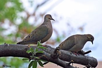 10May2013_1c_Backyard-Birds_Mourning-Doves