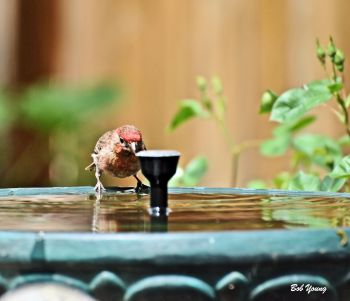House Finch with an attitude!
