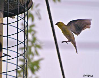 American Goldfinch landing.