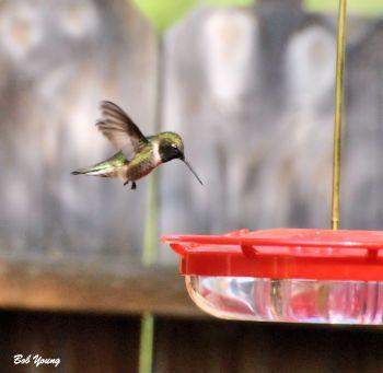 18May2013_1b_Backyard-Blackchinned-Hummingbird_AtFeeder_Best
