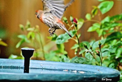 19May2013_1_Backyard-Hummers_Fleeing-House-Finch_Cropped