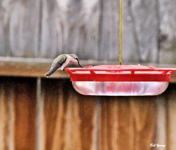 Female Black-chinned Hummingbird drinking.