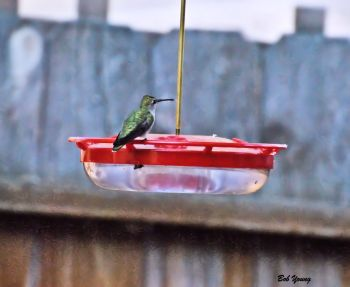 25May2013_1a_Backyard-Birds_Black-chinned-Hummingbird