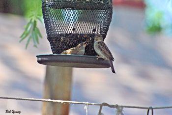 25May2013_1g_Backyard-Birds_Feeding-Time