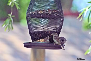 25May2013_1h_Backyard-Birds_Feeding-Time