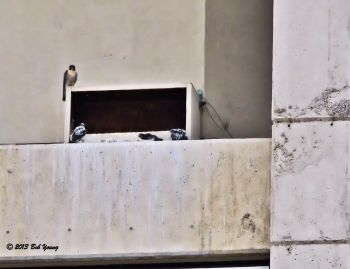 One adult peregrine falcon watches over the eyasses. Photo taken from 10th and Bannock in Boise.