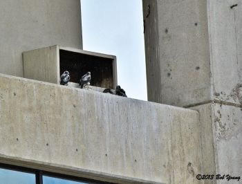 Four little peregrine falcon eyasses. Photo taken from the Eastman Garage, Boise.