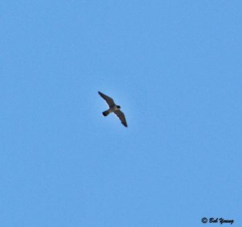 18June2013_1b_Falcon-Watch_Male-Soaring