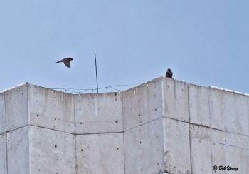 19June2013_2b_Fledge-Watch_Parent-Eyass-Rooftop-Coax