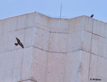 19June2013_2b_Fledge-Watch_Parent-Eyass-Rooftop