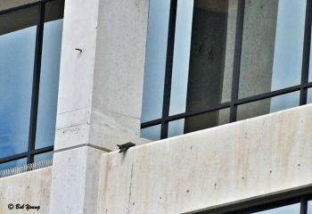 "One falcon ""pancaked"" on the 14th floor just south of the breezeway."