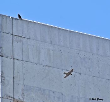 One adult returns to the building and flies in front of a juvenile. He then lands on the roof. No cacking is heard.