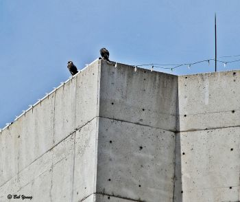 """Two male(?) """"fledglings"""" on the NE corner of the One Cap Center."""