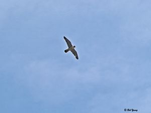 25June2013_1e_Falcon-Watch-Fledglings_No-6-Adult-Overhead