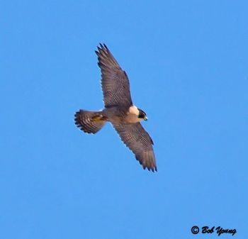 26June2013_1b_Falcon-Watch-Fledglings_Fledgling-In-Flight_Enlarged-Good