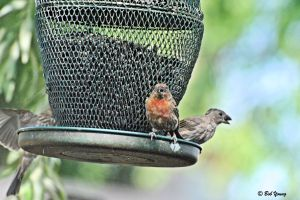 09Aug2013_1_Backyard-Birds_House-Finch-Feeder