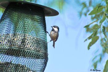 09Aug2013_1c_Backyard-Birds_Blackcapped-Chickodee