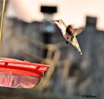 09Aug2013_1e_Backyard-Birds_Anna's-Hummingbird