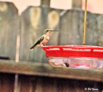Feeding and keeping a watchful eye for predators.