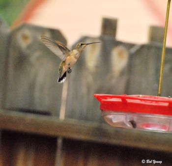 12Aug2013_1c_Hummingbird_Hovering-Near-Feeder